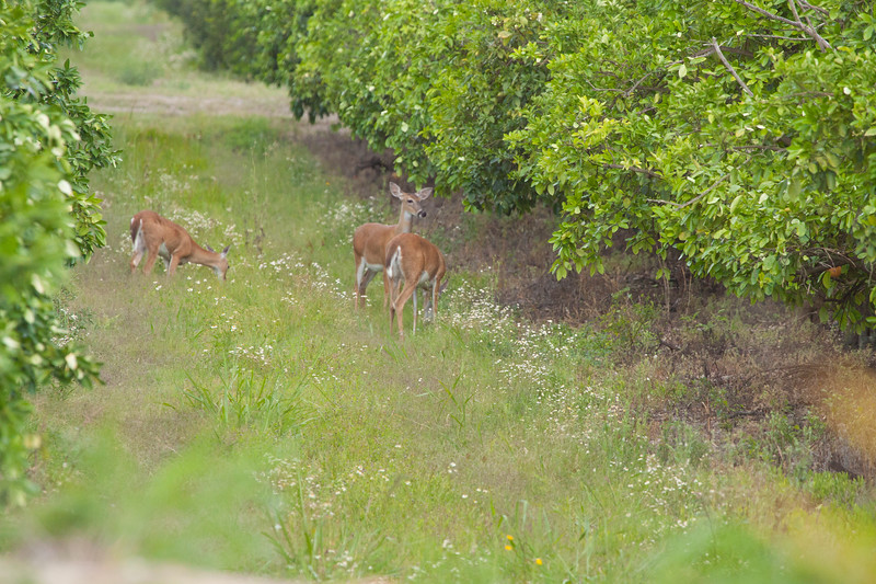 Whitetailed deer in an orange grove
