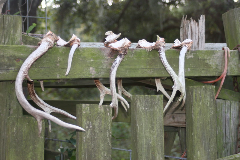 Whitetailed buck antlers hanging on a fence