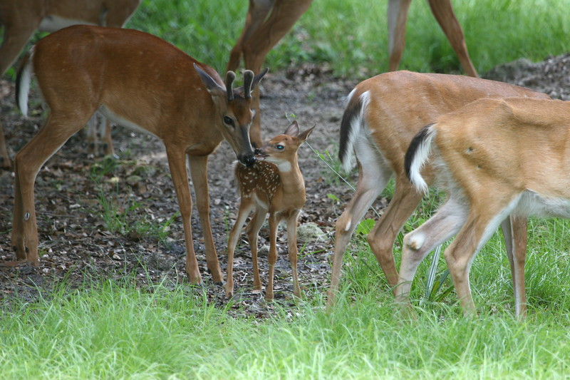 Young Whitetail buck in velvet nose to nose with fawn