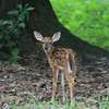 Whitetail fawn looking back at camera