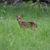 Newborn Whitetail fawn in tall grass