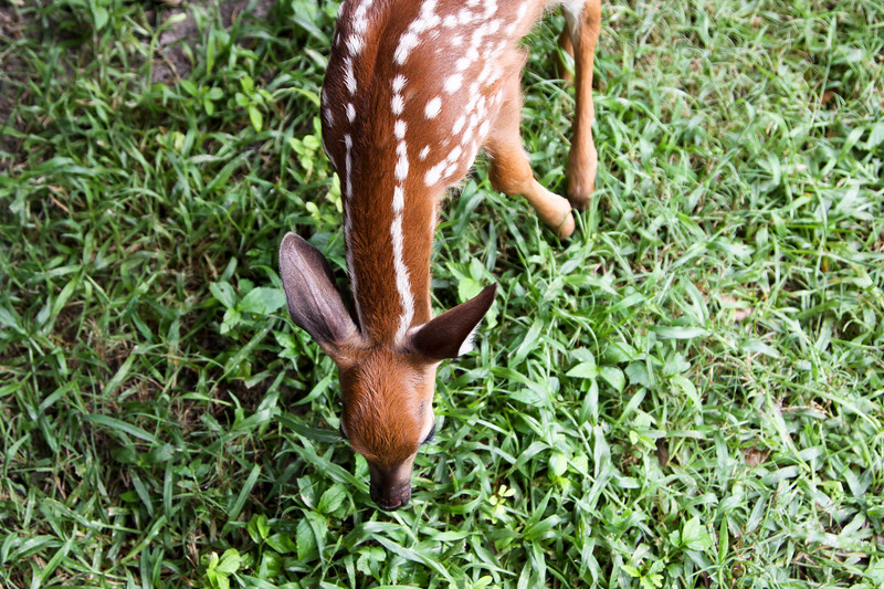 Fawn_SS121672