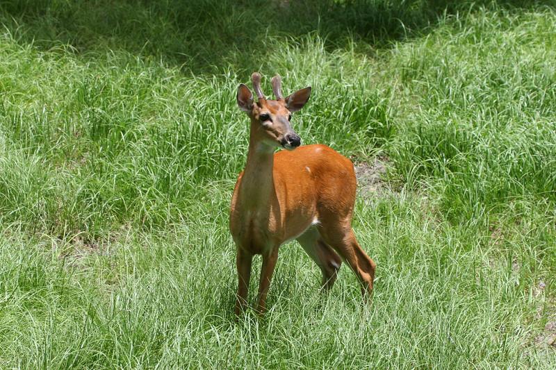 Young Whitetail buck in velvet