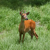 Young Whitetail buck in velvet