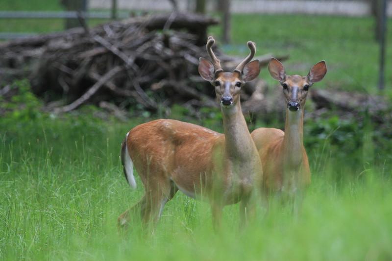 Two young Whitetail bucks in velvet