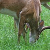 Whitetail buck in velvet eating with other deer