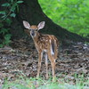 Whitetailed fawn