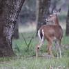 Whitetailed doe