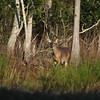 Whitetailed deer in the woods