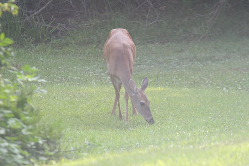 Whitetail doe eating grass in the fog