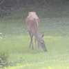 Whitetail doe eating grass in the fog