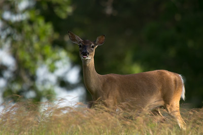 White-tailed Deer - doe (Odocoileus virginianus)