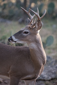 Whitetail Buck (Odocoileus virginianus)