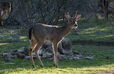 Whitetail Deer (Odocoileus virginanus)