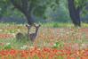 Whitetail Deer yearlings (Odocoileus virginianus)
