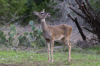 Whitetail Doe (Odocoileus virginianus)