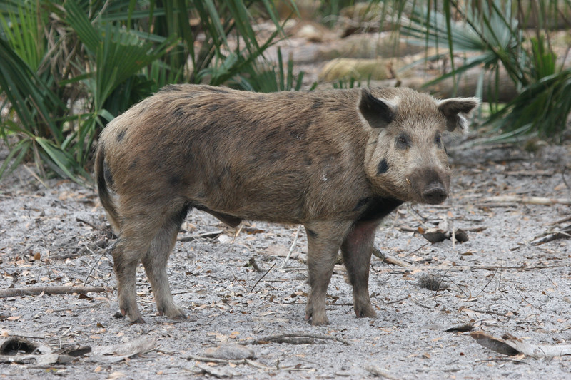 Wild pig in Florida woods