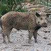 Wild pig in Florida woods