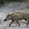 Wild sow in Florida woods