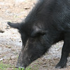 Wild pig looks for food