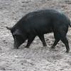 Wild Boar SS059817