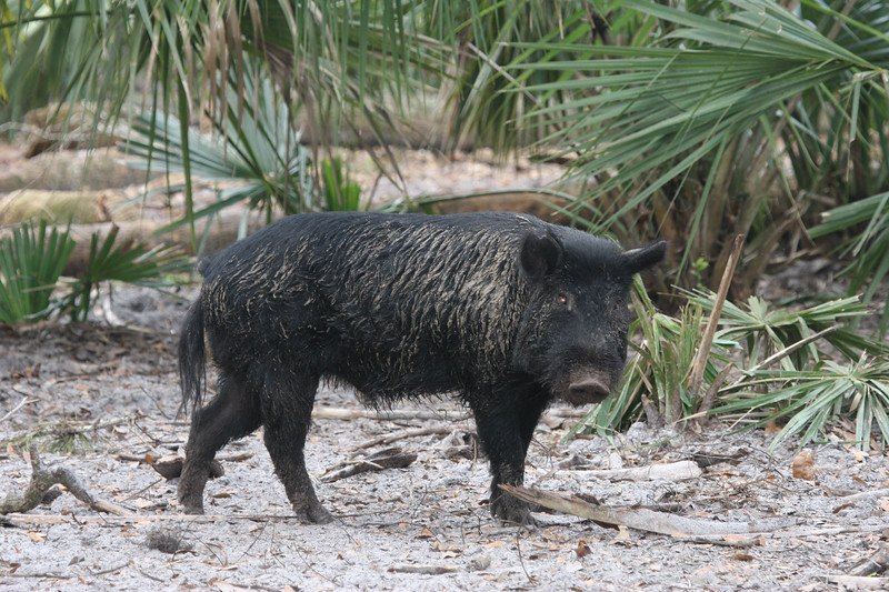 Wild boar in the Florida palmettos