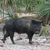 Wild boar in the Florida palmettos