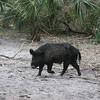 Wild pig in florida