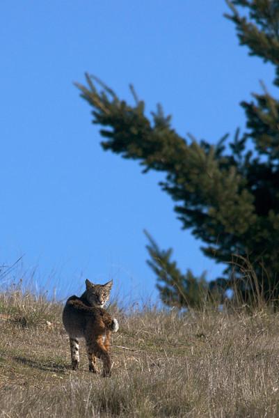 Bobcat, 01.18.09