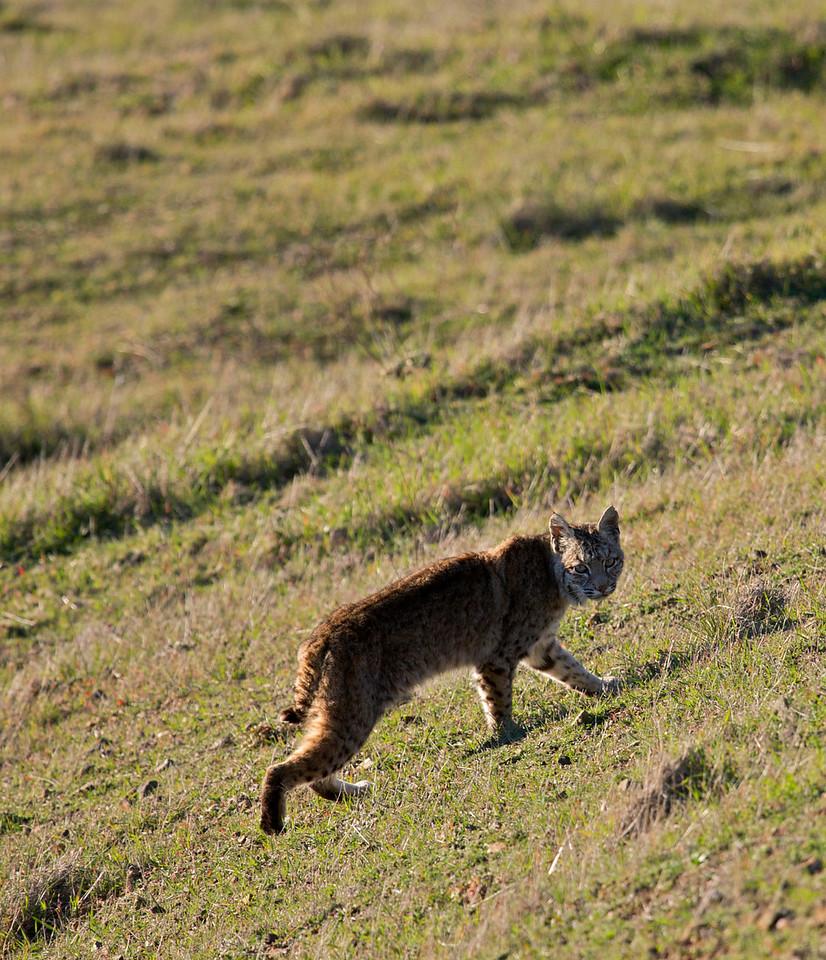 Bobcat, Mount Tamalpais