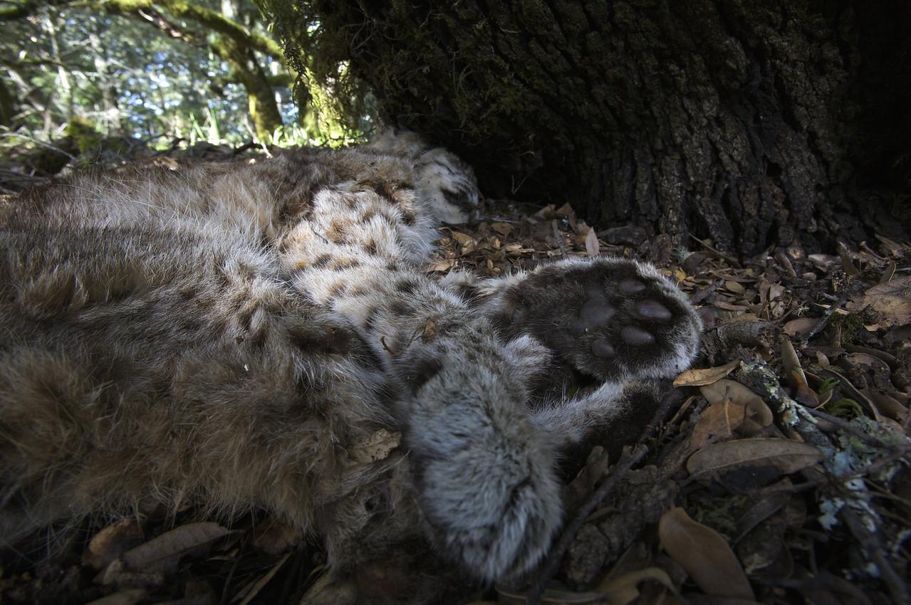 dead bobcat under a tree, 03.07.09