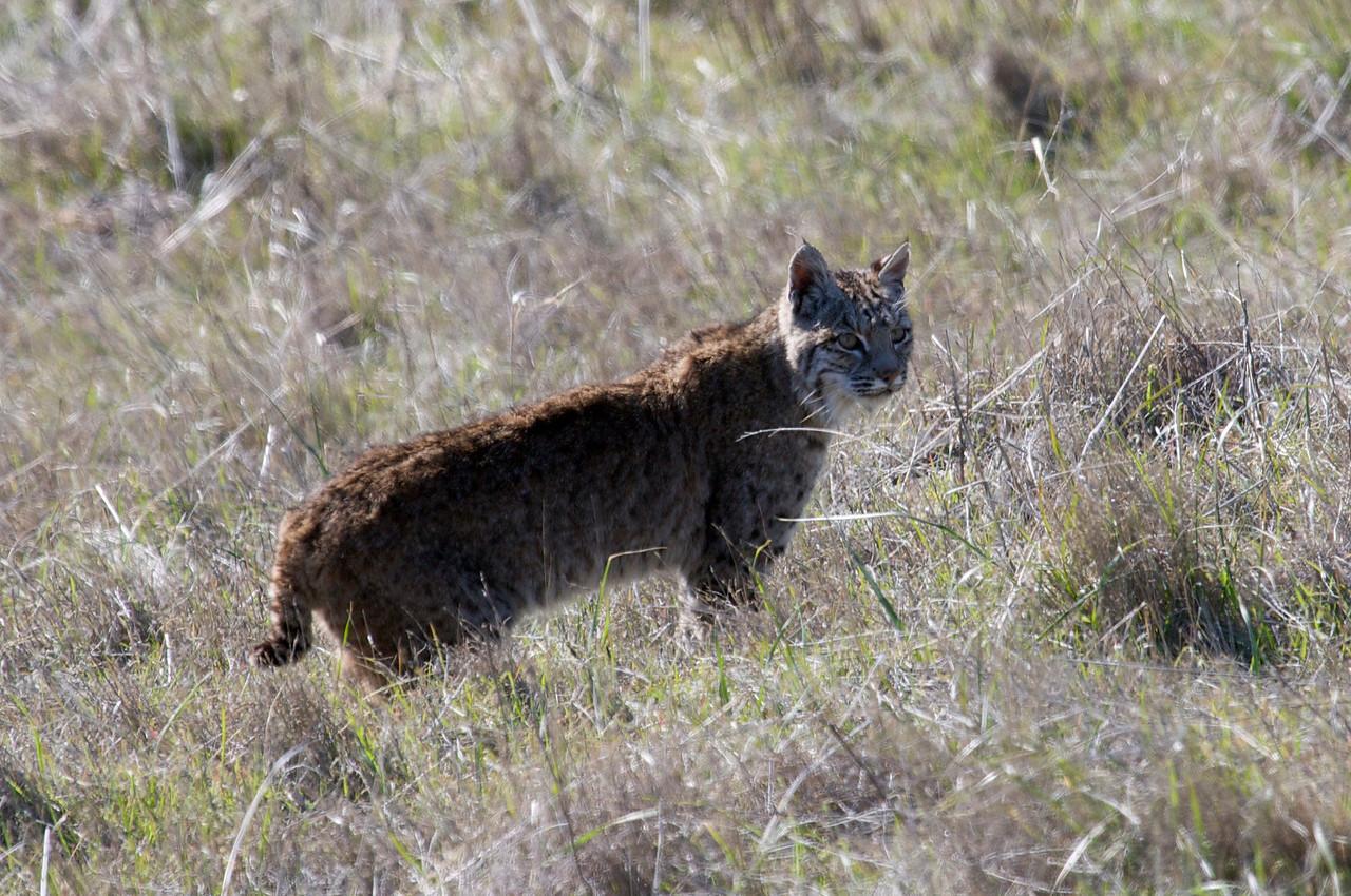 Bobcat, Mt. Tam, 01.01.09