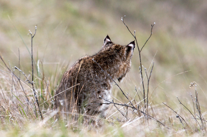 Bobcat ears