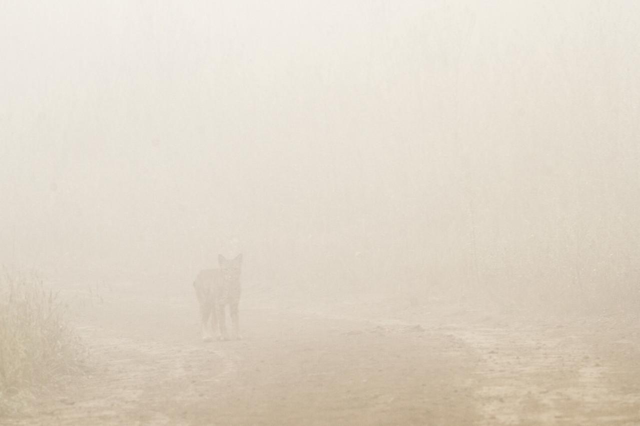 Bobcat in fog
