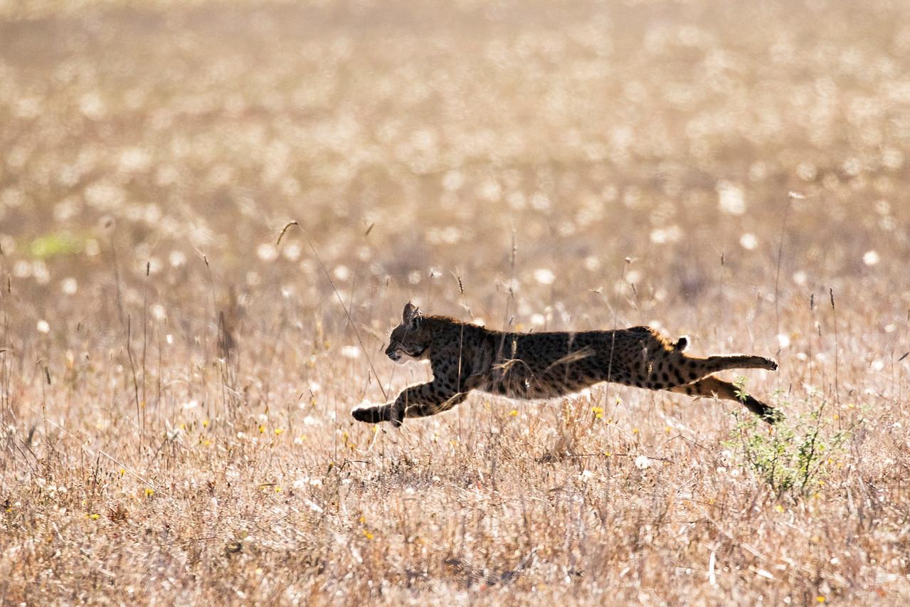 Trish Carney, bobcat, wild cats, Lynx rufus