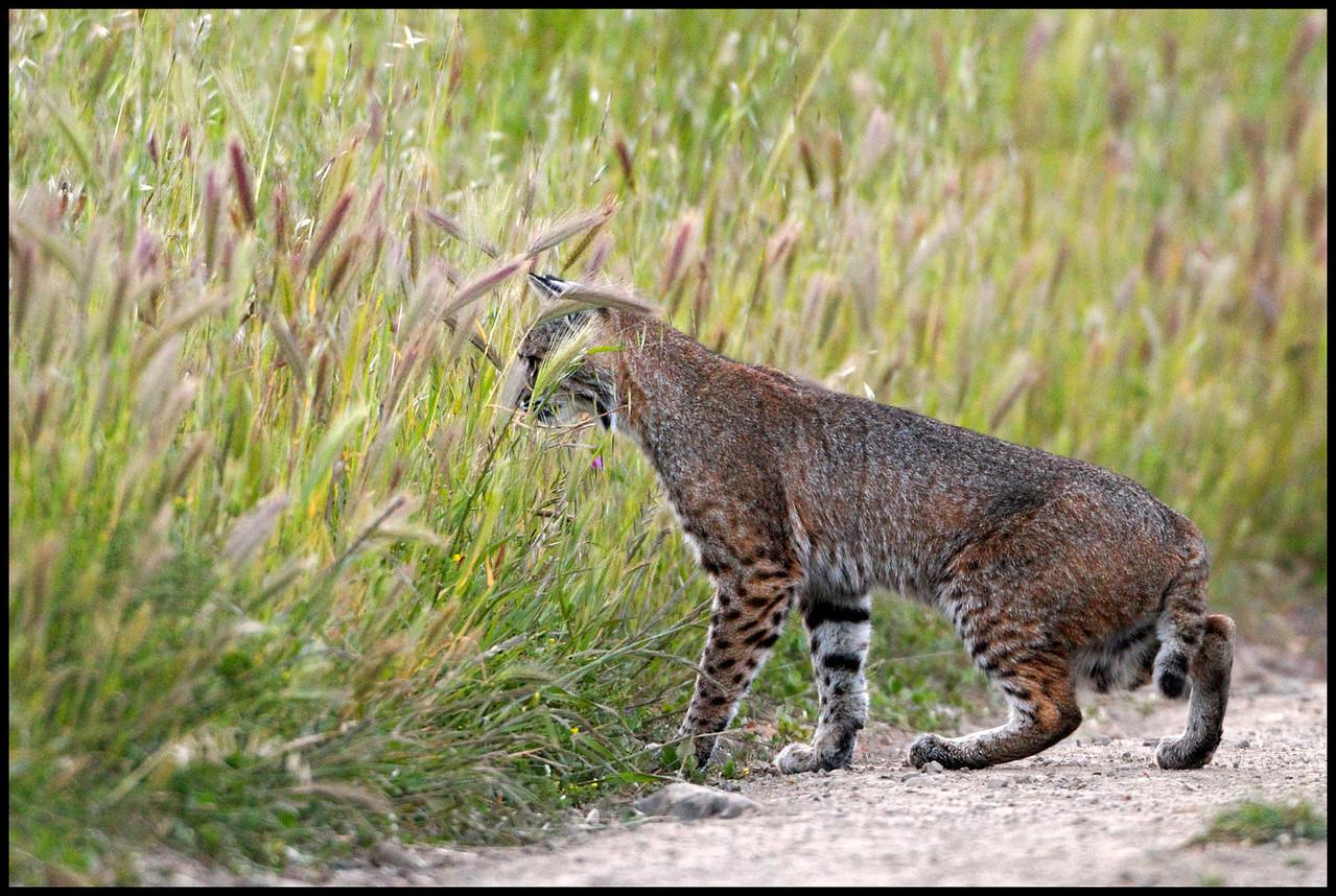Bobcat hunting- Lynx rufus