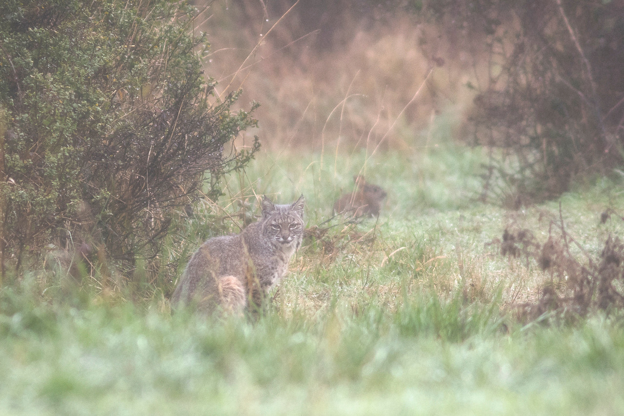 Predator and prey on a thick foggy afternoon. Bobcat and brush rabbit.