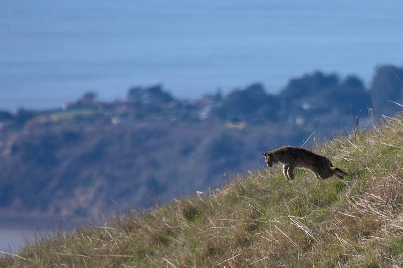 Bobcat hunting, Coastal trail, Mt. Tam, 01.04.09
