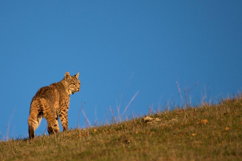 Bobcat at sunset