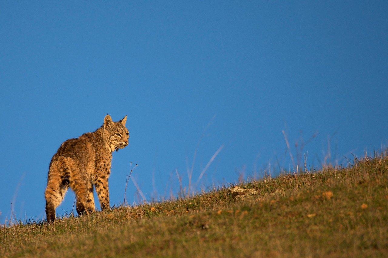 Bobcat at sunset