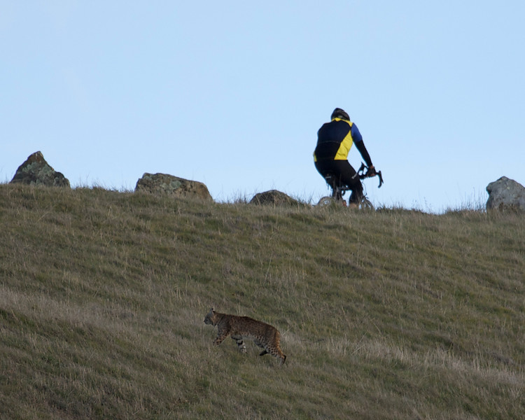 Bobcat and cyclist, Mt. Tamalpais, 12.29.08