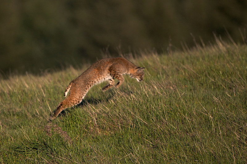 Bobcat hunting pounce