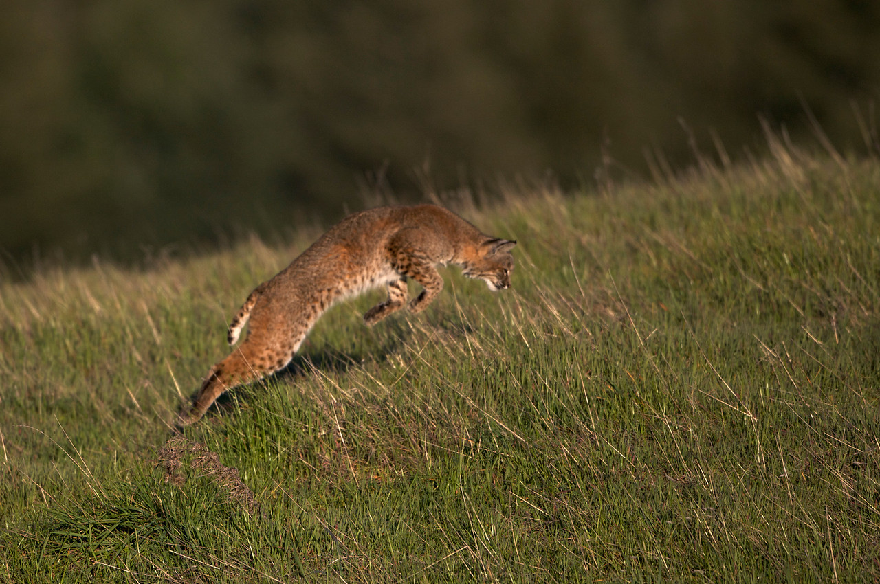 Bobcat hunting pounce