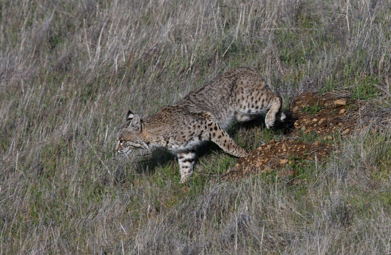 Bobcat, Coastal trail, Mt. Tam, 01.03.09