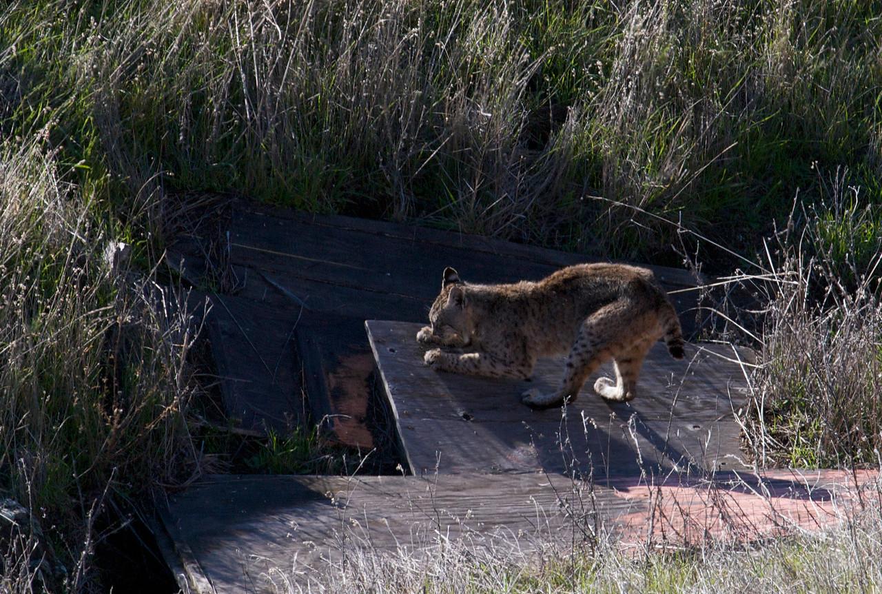 Bobcat, Mt. Tam, Coastal trail, 12.31.08