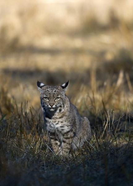 Bobcat, Olema, 10.13.07