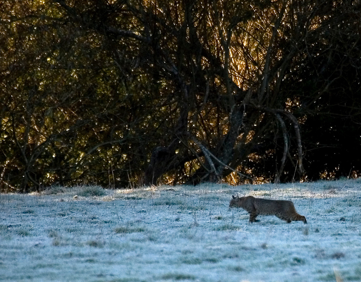 Bobcat  with early morning frost along the Rift zone trail, Olema