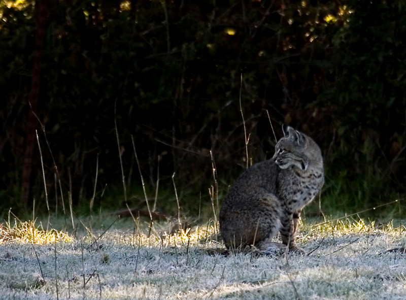 Bobcat with early morning frost, Olema