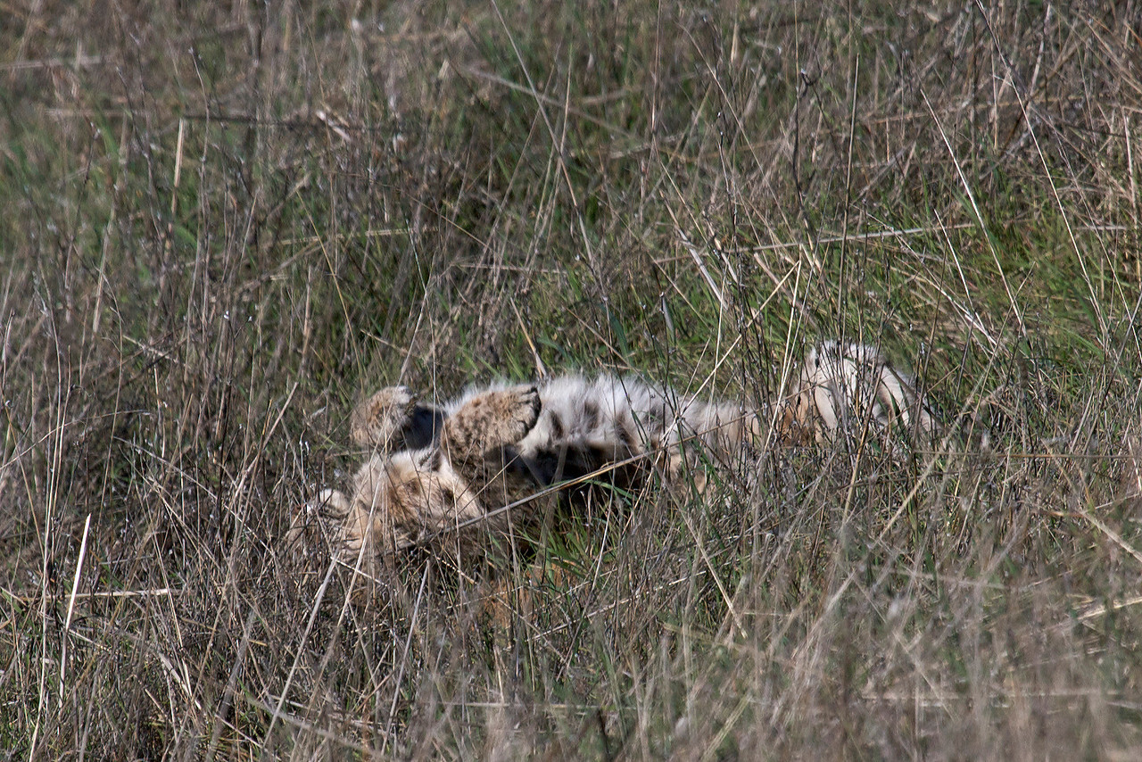 Bobcat rolling back and forth on its back