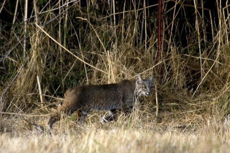 Bobcat, Point Reyes, 09.16.07